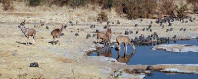 与林羚和有顶饰珍珠鸡的Waterhole 库存图片