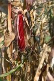 与果壳的印地安秋天玉米 免版税库存照片