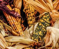 与果壳的印第安玉米 图库摄影