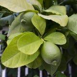 与果子特写镜头的柠檬树 方形的图象 免版税图库摄影