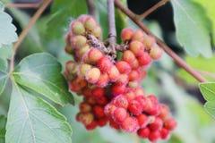 与果子莓果背景关闭的美好的红色橙黄色花开花的野花 库存图片