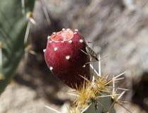 与果子褐色的仙人掌 免版税库存照片
