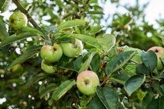 与果树栽培的苹果树在庭院里 库存照片