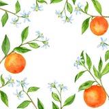 与果树的背景分支,花,叶子和桔子. 自然, 例证.