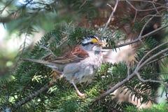 与枝杈的逗人喜爱的白红喉刺莺的麻雀在它的额嘴 免版税库存图片