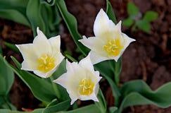 与柔和的白色瓣和黄色核心的三朵惊人的花 库存图片