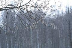 与柔荑花的分支 Sring背景 免版税图库摄影