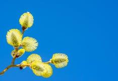 与柔荑花的杨柳 库存照片