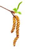 与柔荑花的桦树 图库摄影