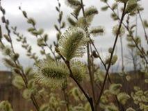 与柔荑花的褪色柳在春天 库存图片