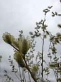 与柔荑花的褪色柳树在春天 库存照片