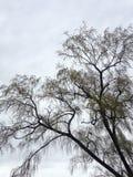 与柔荑花的褪色柳树在春天 免版税库存照片