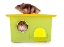 与查出的房子的二只幼小仓鼠 库存图片