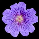 与查出的美丽的紫色大竺葵花 免版税库存照片