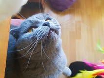 与查寻黄色的眼睛的灰色猫 画象 免版税库存图片