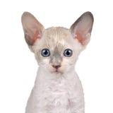 与查看照相机的蓝眼睛的逗人喜爱的矮小的白考尼什鸡Rex小猫 免版税库存图片