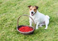 与柳条筐的逗人喜爱的微笑的狗有很多红浆果 图库摄影