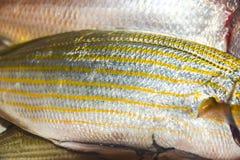 与标度的新鲜的未加工的明亮的鱼在煎锅 图库摄影