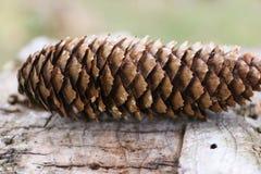 与标度纹理的树锥体 免版税库存照片