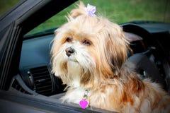 小狗在窗口里。 免版税库存图片