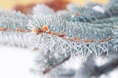 与树冰圣诞树的科罗拉多蓝色云杉与树冰 图库摄影