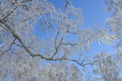 与树冰的桦树分支在蓝色冬天天空 库存照片