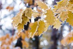 与树冰的秋天早晨在槭树在树枝离开 免版税库存照片