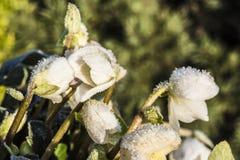 与树冰,圣诞节罗斯的白色黑黎芦 免版税库存照片
