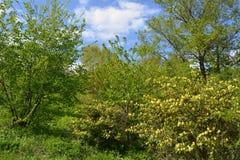 与树和开花的灌木的春天风景在晴天 免版税图库摄影