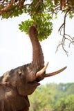 与树干的大象在充满活力的绿色叶子附近延伸了并且卷曲了 图库摄影