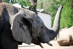 与树干的大象 免版税库存照片