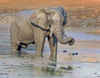 与树干的非洲大象在waterhole卷曲了 库存图片