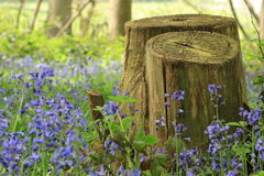 与树桩的会开蓝色钟形花的草在前景,肯特 免版税图库摄影