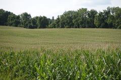 与树的一块麦田在背景中 库存图片