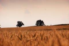 与树的麦田在距离 库存照片