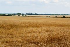 与树的黄色麦子 免版税库存照片