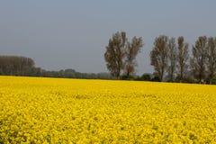 与树的黄色强奸领域在背景中 库存照片