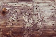 与树皮甲虫的踪影的树 库存图片