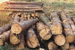 与树皮甲虫,树砍伐战斗的甲虫,援助病和被传染的树皮甲虫 库存图片