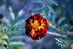 与树荫、芽和叶子的万寿菊黑暗 免版税库存照片