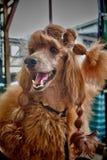 与样式的狗 免版税图库摄影