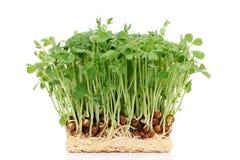 与根的发芽的豌豆 库存照片