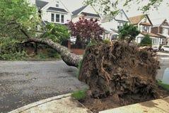 与根的大下落的树在风暴以后 免版税图库摄影