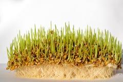 与根的新鲜的新芽麦子种子 免版税库存图片