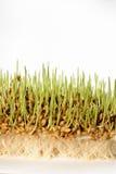与根的新鲜的新芽麦子种子 库存图片