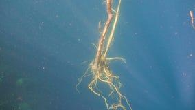 与根的树在水下 股票视频