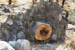 与根的树桩 库存图片