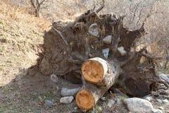 与根的树桩 库存照片