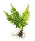与根的没有在白色背景隔绝的土壤的蕨和叶状体 免版税库存照片