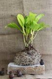 与根的生长树 库存图片